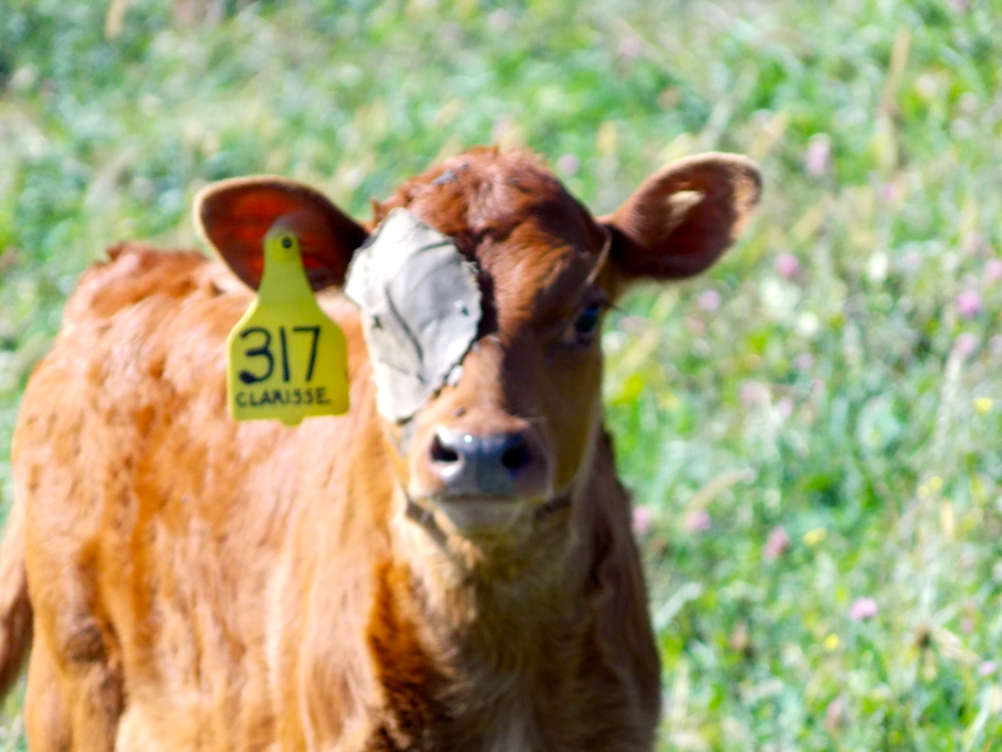 Treating Pinkeye in Calves