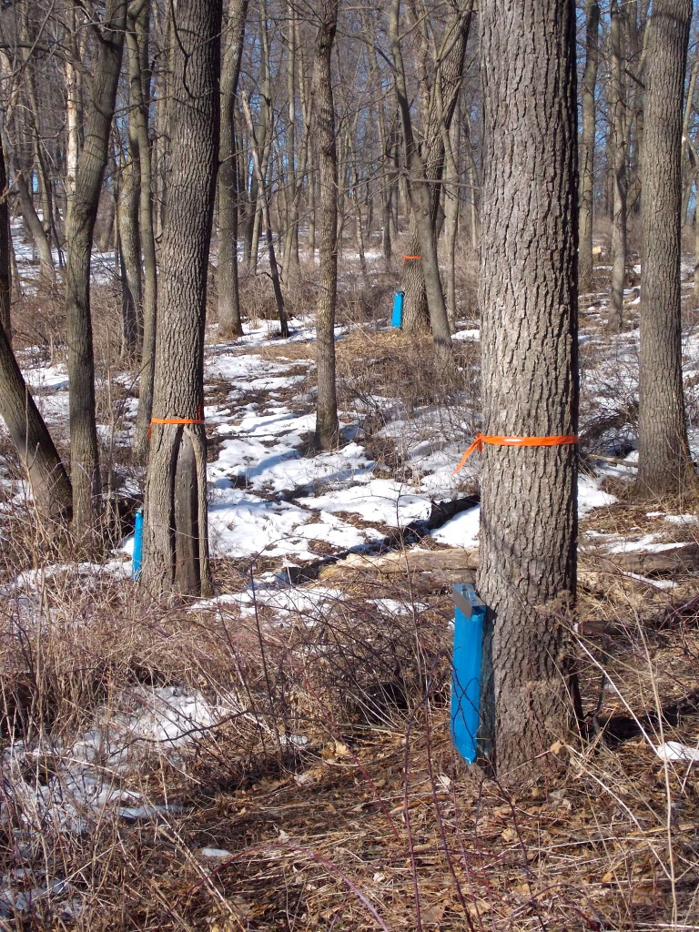 tapping walnut trees