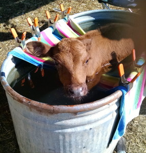 floating a calf