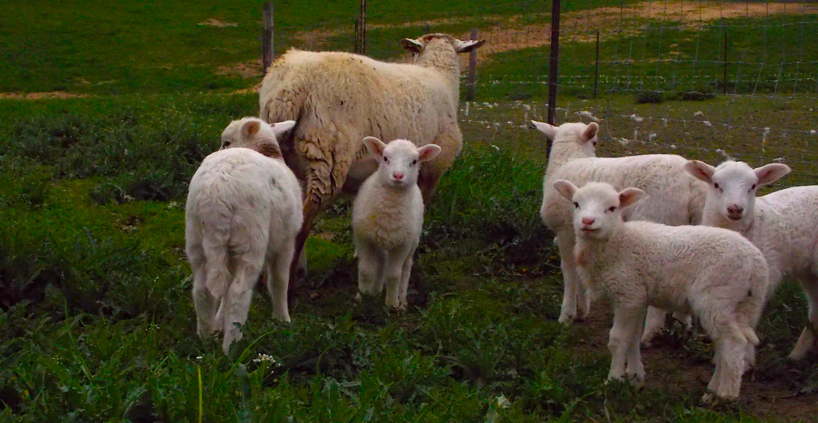 New calves, kid goats and lambs