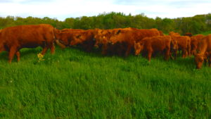 Bred Heifers/cows for sale