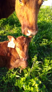 Bred Heifers and cows for sale