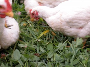 chickens grazing