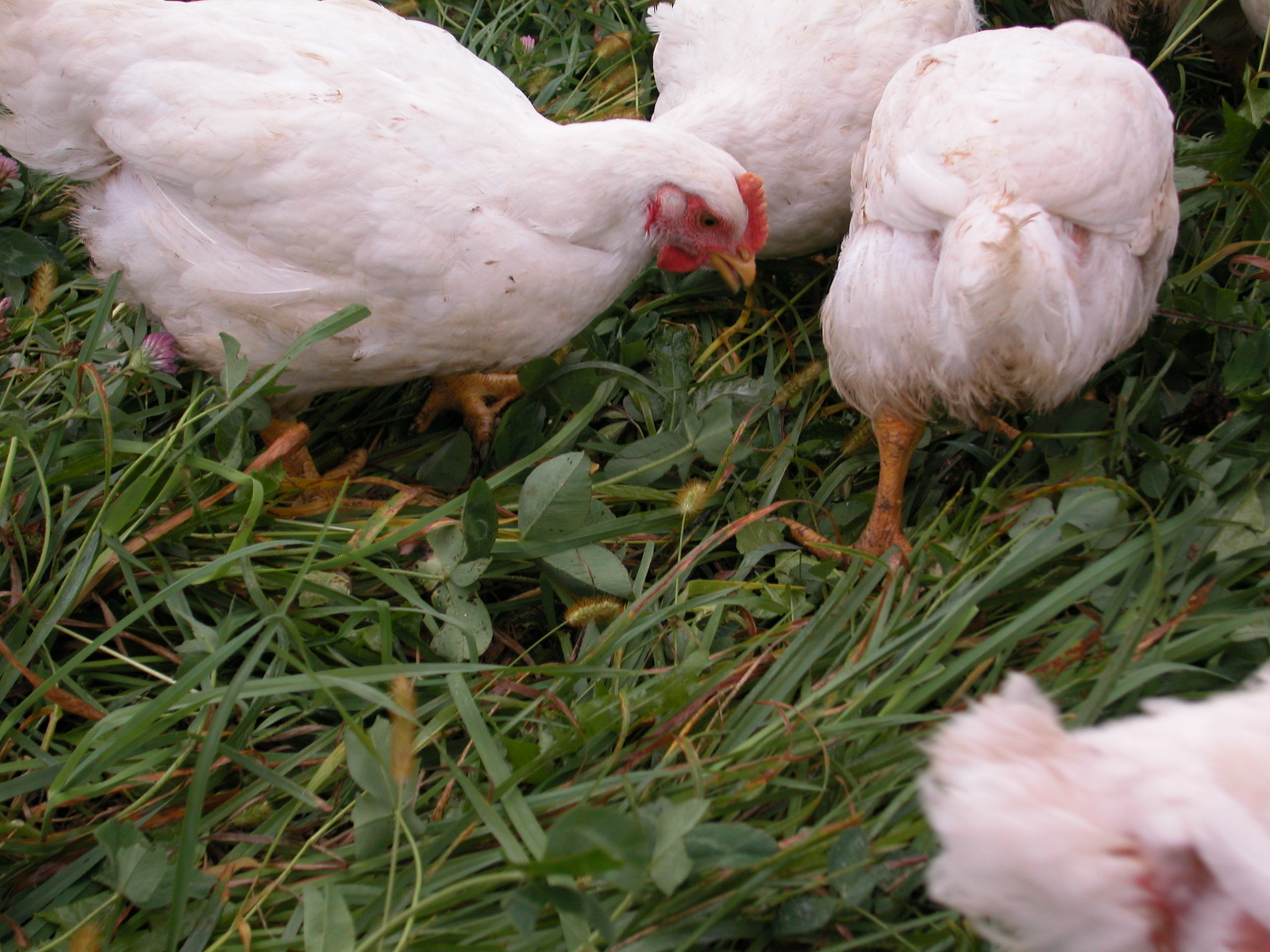 Preventing Bird Flu in Your Flock