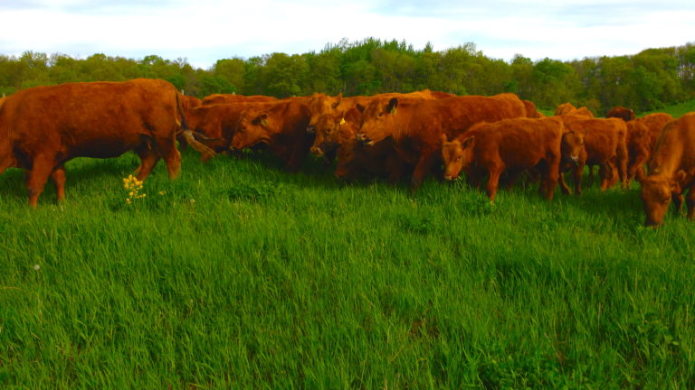 The Power of One Grass-fed Steer