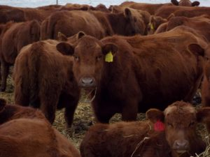 The Efficiency of Grazing Cattle