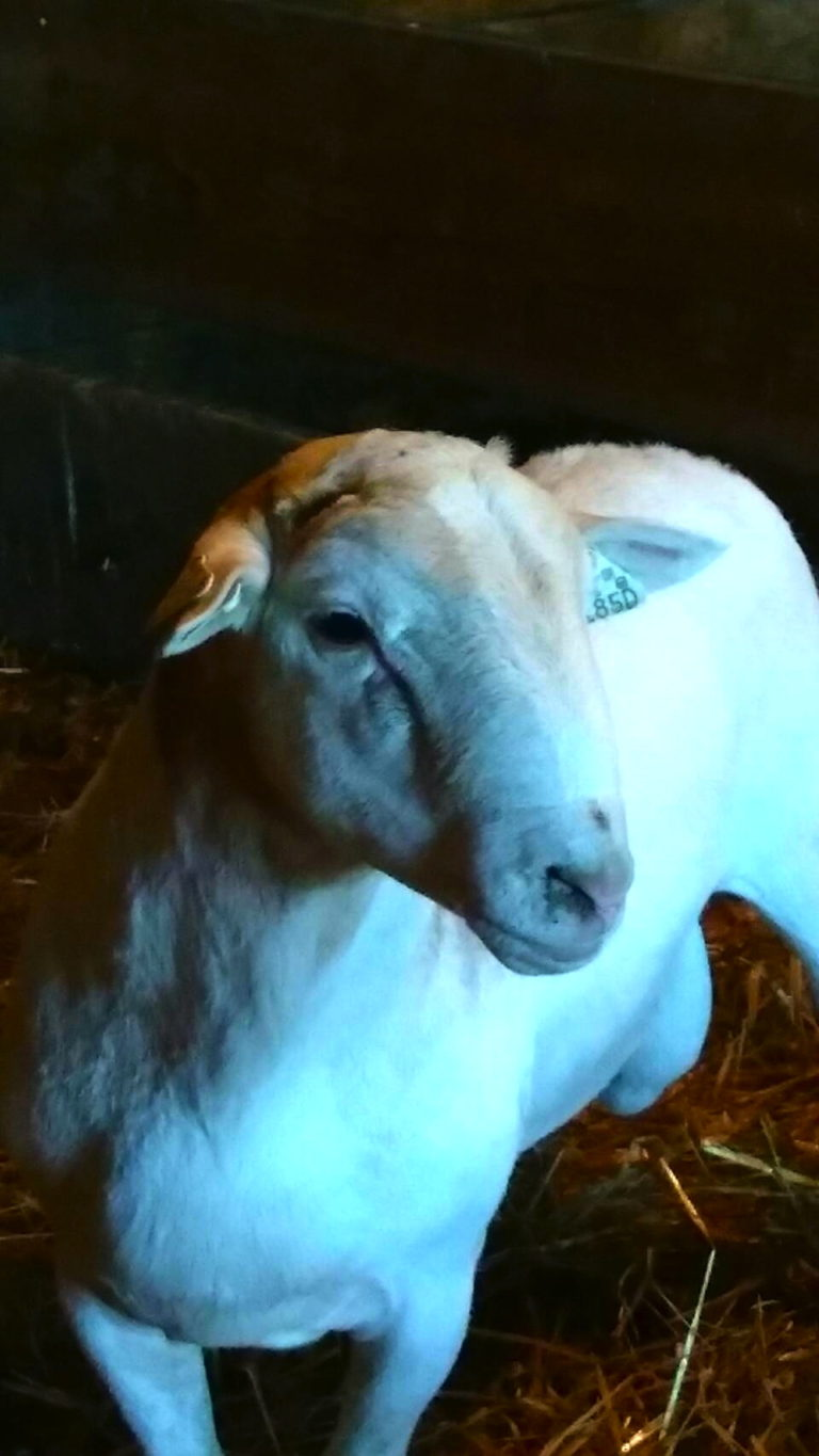 Ram on the Lamb