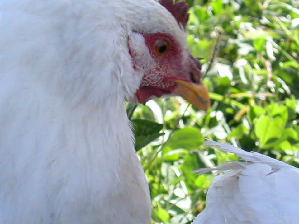 Is Chicken a Healthy Choice?